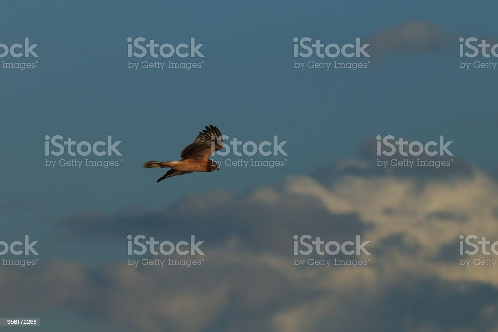 Northern Harrier New Mexico USA stock photo