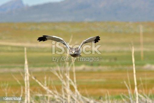 istock Northern Harrier 1089976358