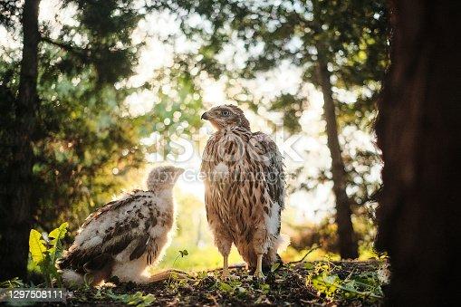 istock Northern hawk goshawk chick in nest - Accipiter gentilis. 1297508111