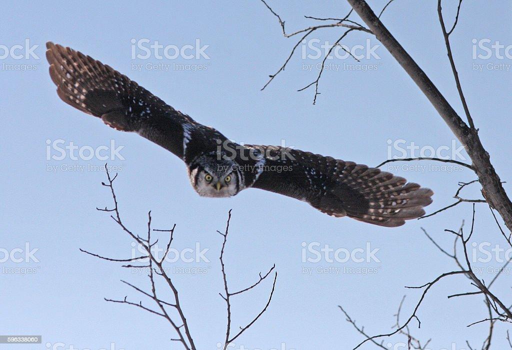 Northern Hawk owl in flight royalty-free stock photo