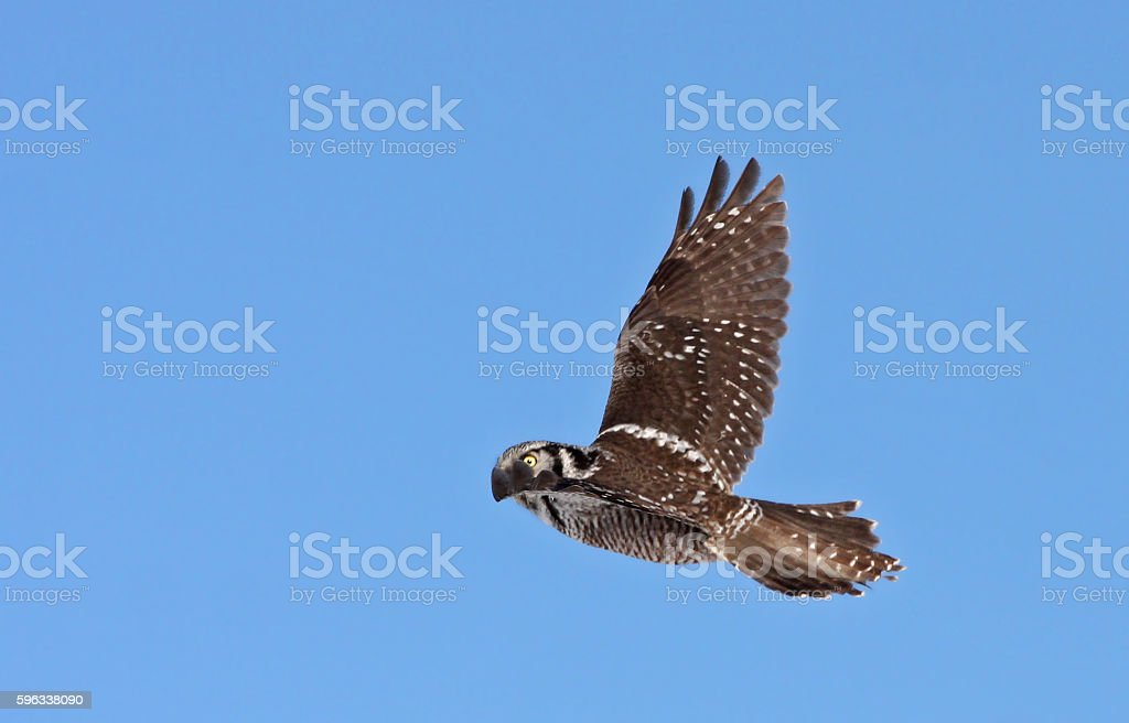 Northern Hawk owl in flight royalty-free stock photo