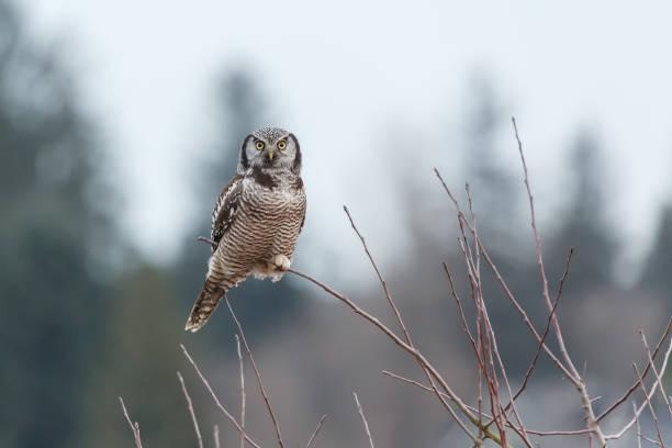 Northern hawk owl picture id1139594853?b=1&k=6&m=1139594853&s=612x612&w=0&h=2w0ui2wfmmrgh7thzcywl ksykgwph khklzvhb6tim=