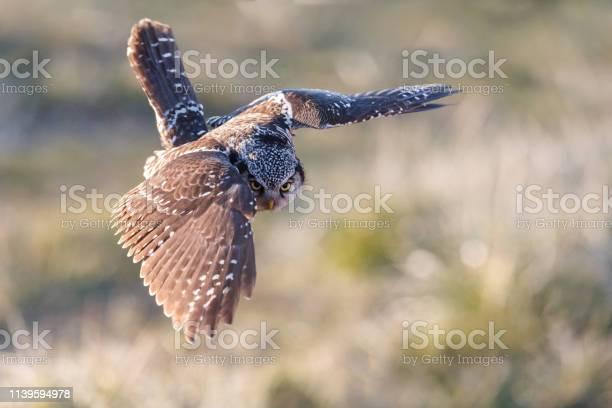 Northern hawk owl picture id1139594978?b=1&k=6&m=1139594978&s=612x612&h=ngsr 5y0qnkt4tolb0nkv vmmxccr fgv66wjog3pnm=