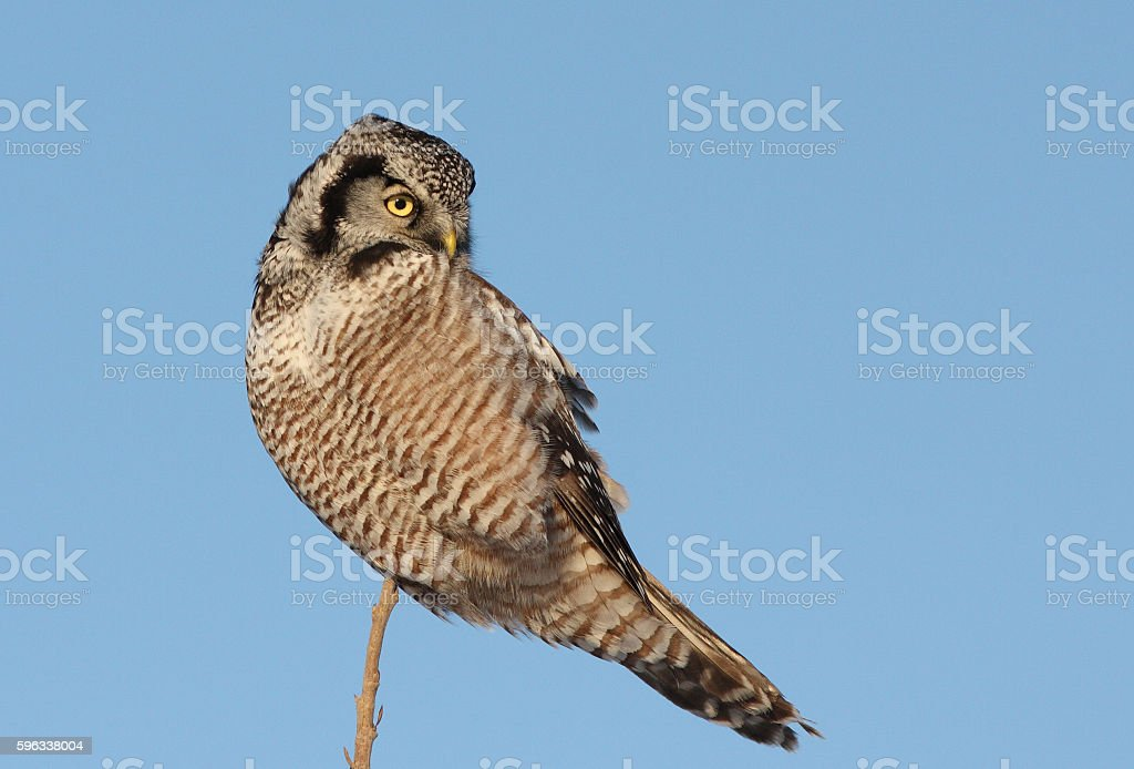 Northern Hawk owl royalty-free stock photo