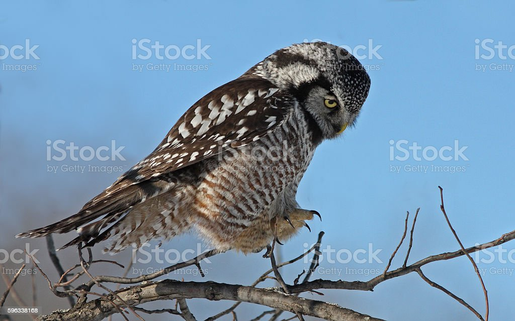 Northern Hawk owl royalty-free stock photo
