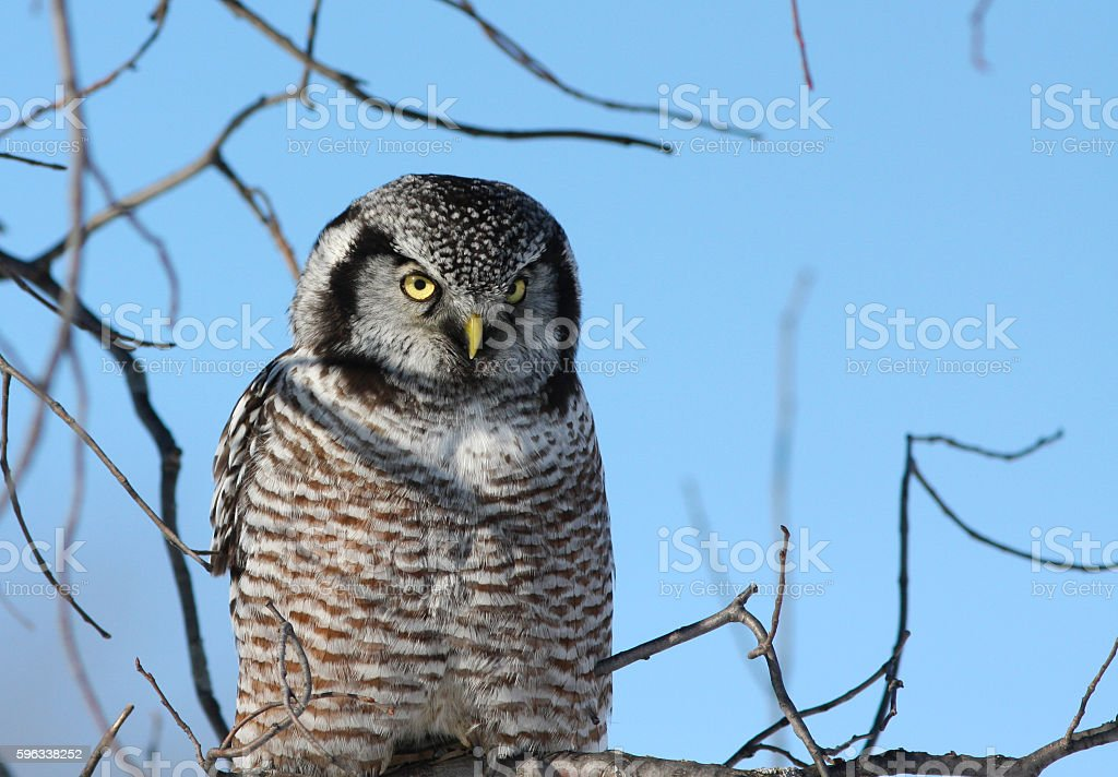 Northern Hawk owl portrait Lizenzfreies stock-foto