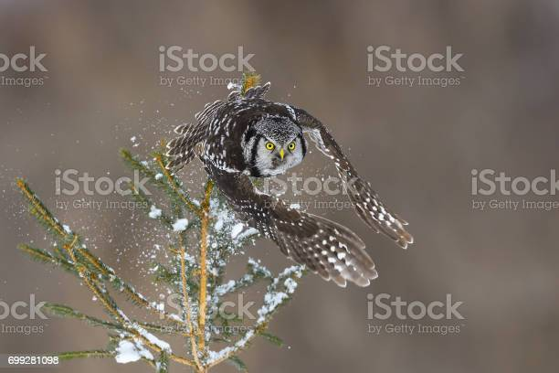 Northern hawk owl surnia ulula rare bird in flight picture id699281098?b=1&k=6&m=699281098&s=612x612&h=jktcpomzeuprrox pyabesrziw1yhpxcyzsg5pnvzuu=