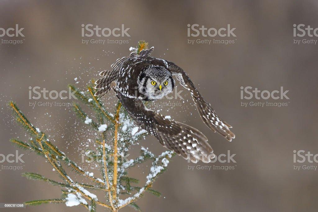 Northern Hawk Owl, surnia ulula, rare bird in flight stock photo
