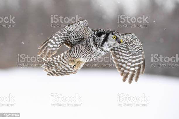 Northern hawk owl surnia ulula rare bird in flight picture id699281206?b=1&k=6&m=699281206&s=612x612&h=ap6tifpud0qqonjnrrvmnwefrtfdxahsltfci0jye6c=