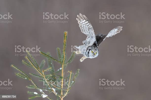 Northern hawk owl surnia ulula rare bird in flight picture id699281734?b=1&k=6&m=699281734&s=612x612&h=qmp1v1ybavp48zumrsyxuzgv4aqw2e92fjxufrymnyu=