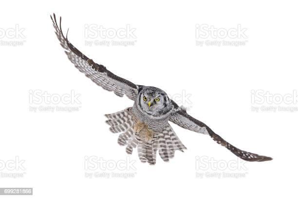 Northern hawk owl surnia ulula rare bird in flight picture id699281866?b=1&k=6&m=699281866&s=612x612&h=8z7exzlqtpv21ivn5m55rycdmkkd6fzmfa3s1ndfy9s=