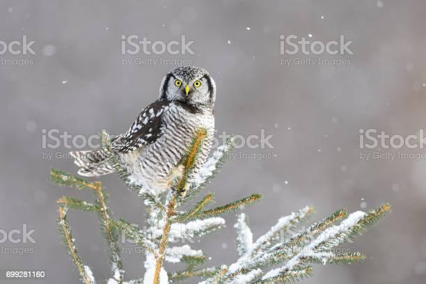 Northern hawk owl surnia ulula rare bird perching picture id699281160?b=1&k=6&m=699281160&s=612x612&h=7 oz2iucqamjsb4vzkwsym4 jpjeaigahkouzlbpugu=