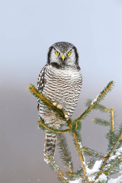 Northern hawk owl surnia ulula rare bird perching picture id699281380?b=1&k=6&m=699281380&s=612x612&w=0&h=lasksc3ydjciy1ecsunjjeo7syqersyanhtjvkvklee=