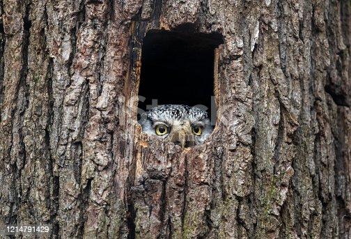 istock Northern hawk-owl 1214791429