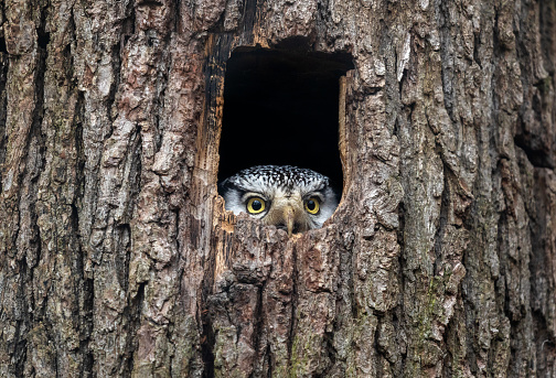 Northern hawk-owl (Surnia ulula) looking out of a tree hollow.