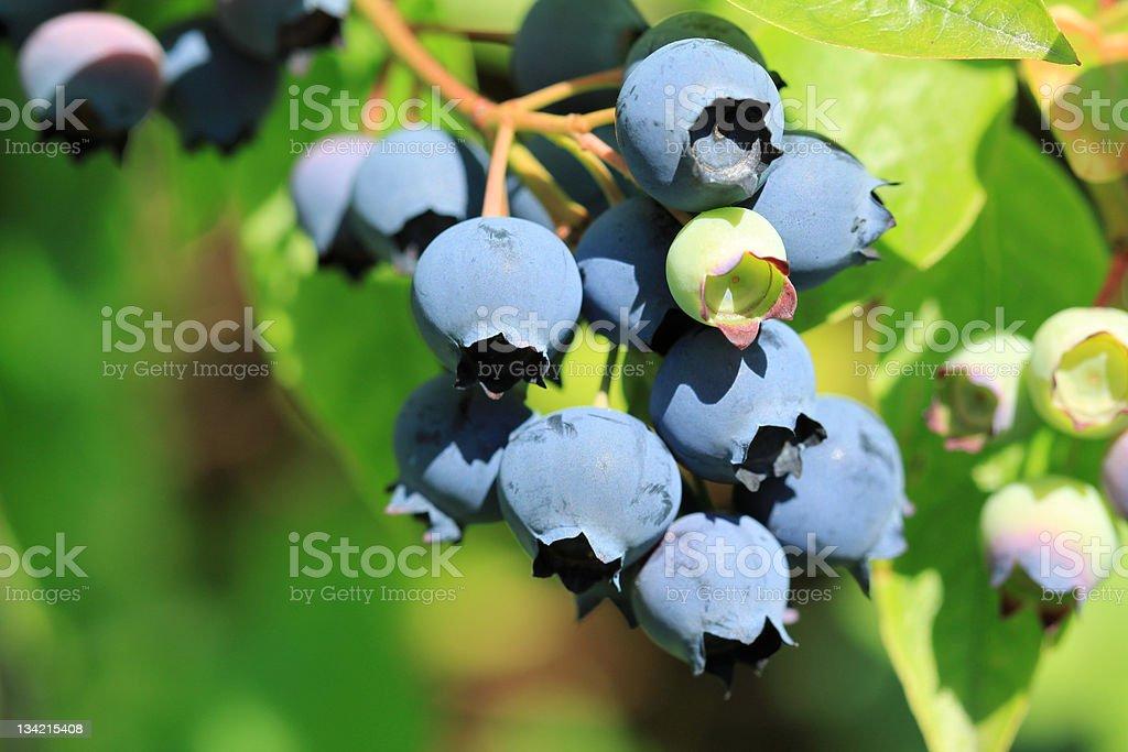 Northern highbush blueberry stock photo