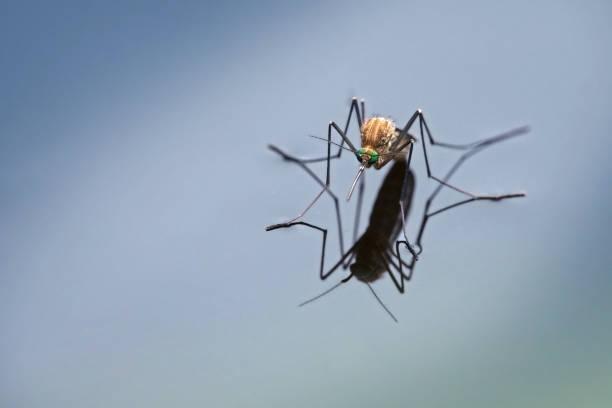 northern house mosquito (culex pipiens) with reflection on the blue water surface, macro shot with generous copy space - staw woda stojąca zdjęcia i obrazy z banku zdjęć