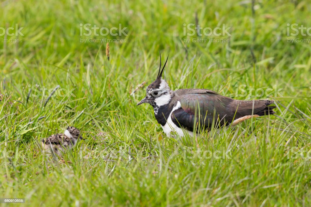 Northern lapwing and juvenile royalty-free stock photo
