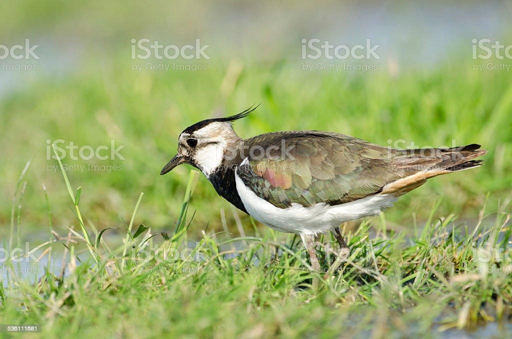 Northern lapwing (Vanellus vanellus) foraging in grassland stock photo