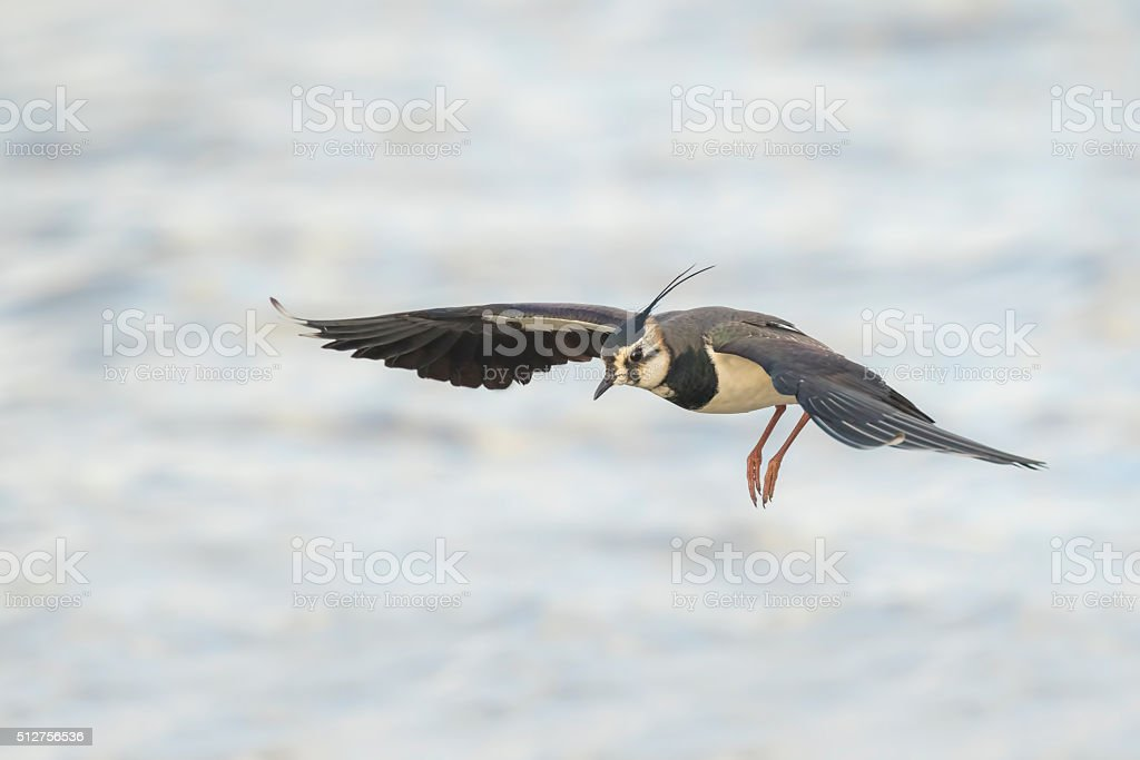 Northern Lapwing in flight stock photo