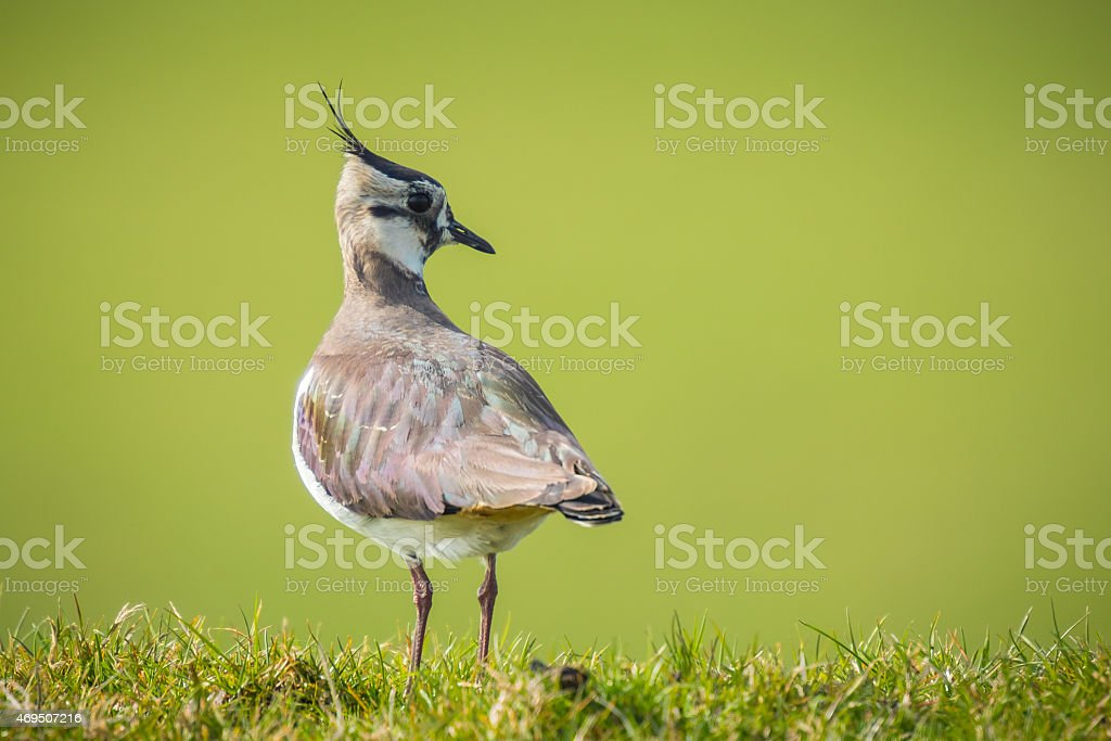 Northern lapwing in grass stock photo