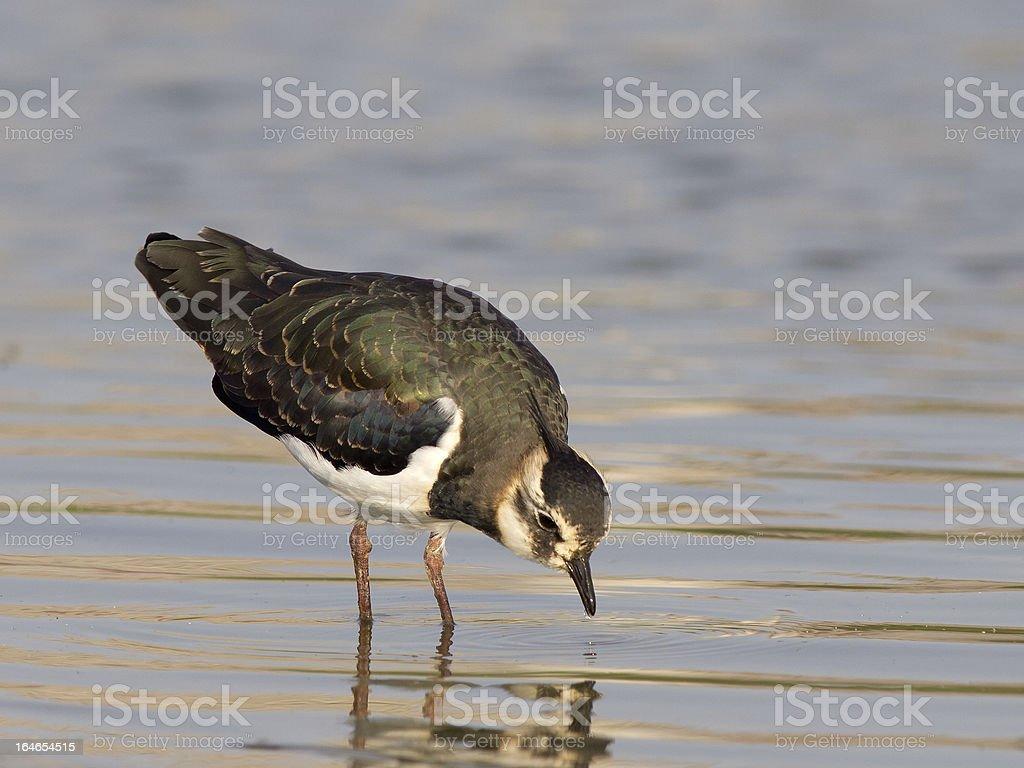 Northern Lapwing; Kiebitz; Vanellus-vanellus royalty-free stock photo