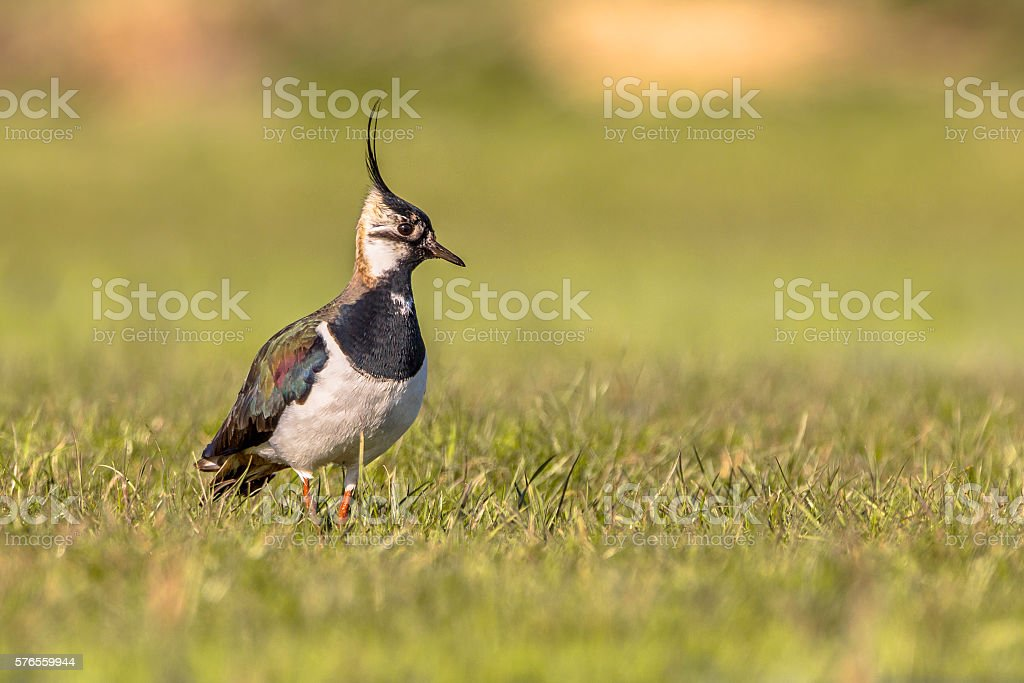Northern lapwing on the look out stock photo