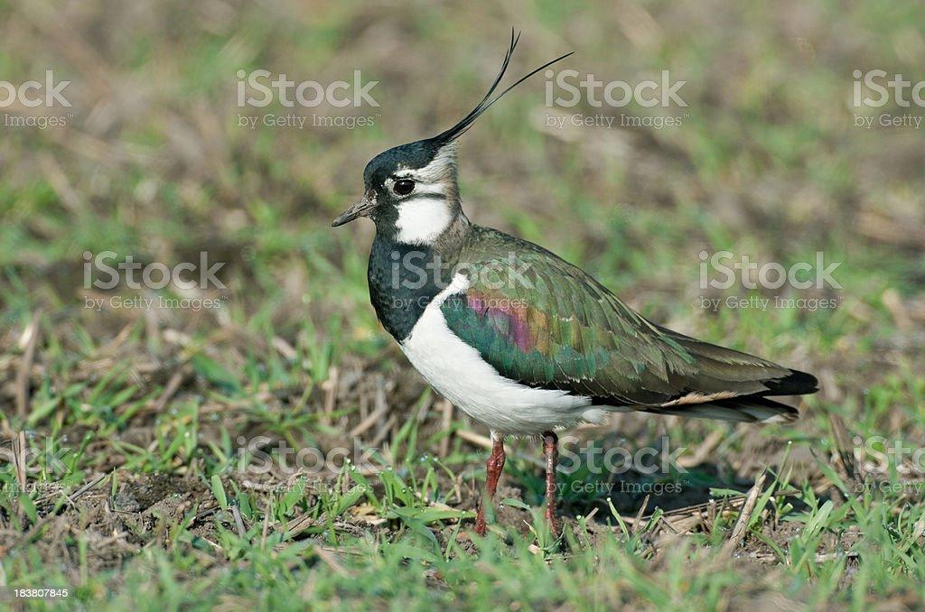 Northern Lapwing (Vanellus vanell.) stock photo