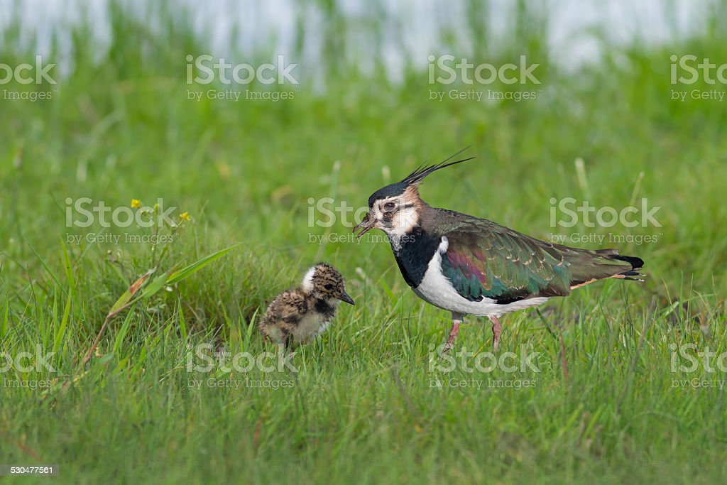 Northern Lapwing stock photo