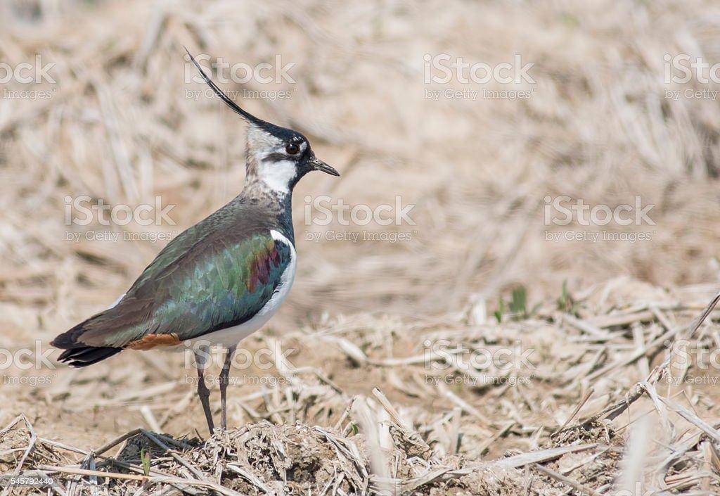 Northern Lapwing (Vanellus vanellus) stock photo