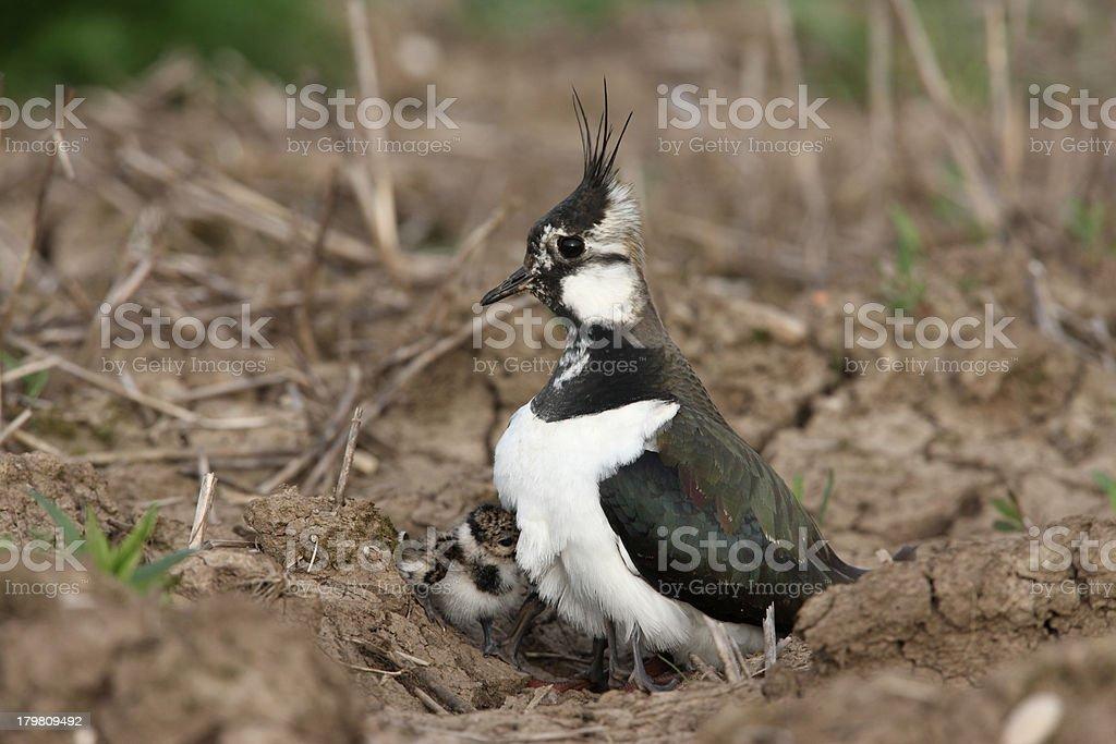 Northern lapwing, Vanellus stock photo