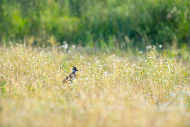 Northern lapwing (Vanellus vanellus) wading bird in a meadow with flowers during summer stock photo