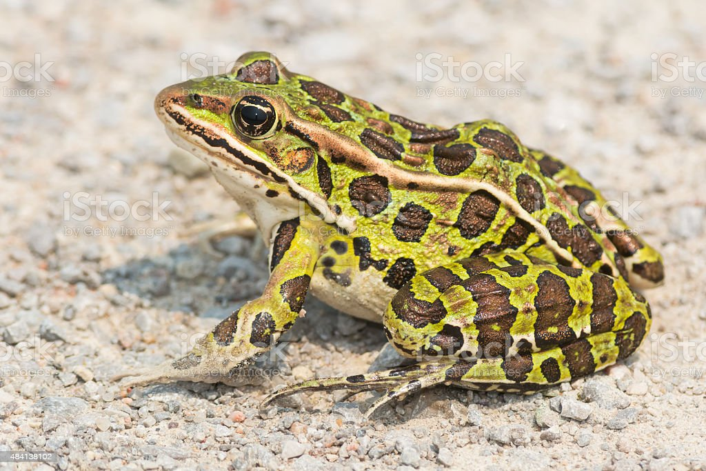 Northern Leopard Frog royalty-free stock photo