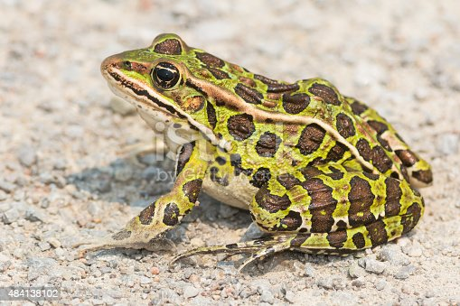 Northern Leopard Frog sitting on a gravel path basking in the sun.