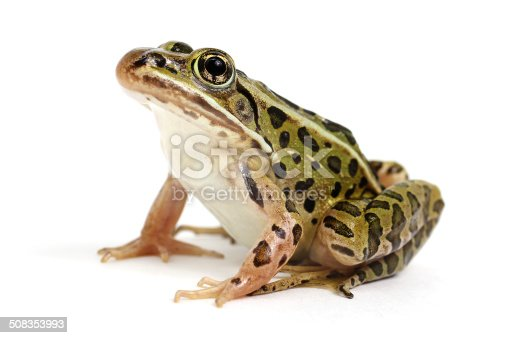 Northern Leopard Frog (Lithobates pipiens) on a white background