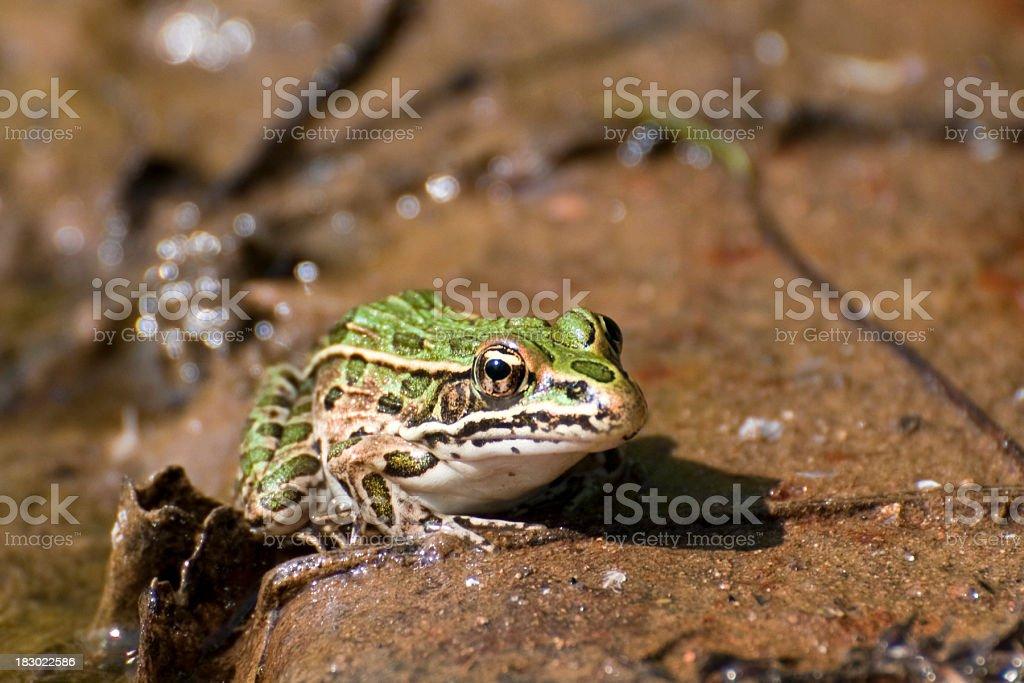 northern leopard frog  Rana pipiens stock photo