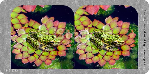 Northern leopard frog, Lithobates pipiens, sitting on mosaic plant, Ludwigia sedioides. Holmes wall format stereograph card. Original 7 inch x 3.5 inch at 360 dpi.