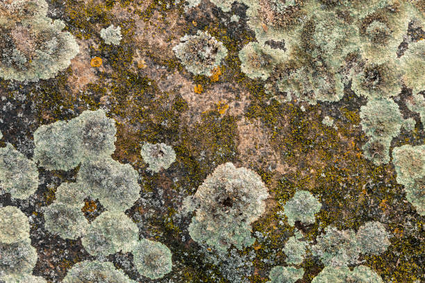 northern lichen on stone close up - beautiful stone background - granite rock stock photos and pictures