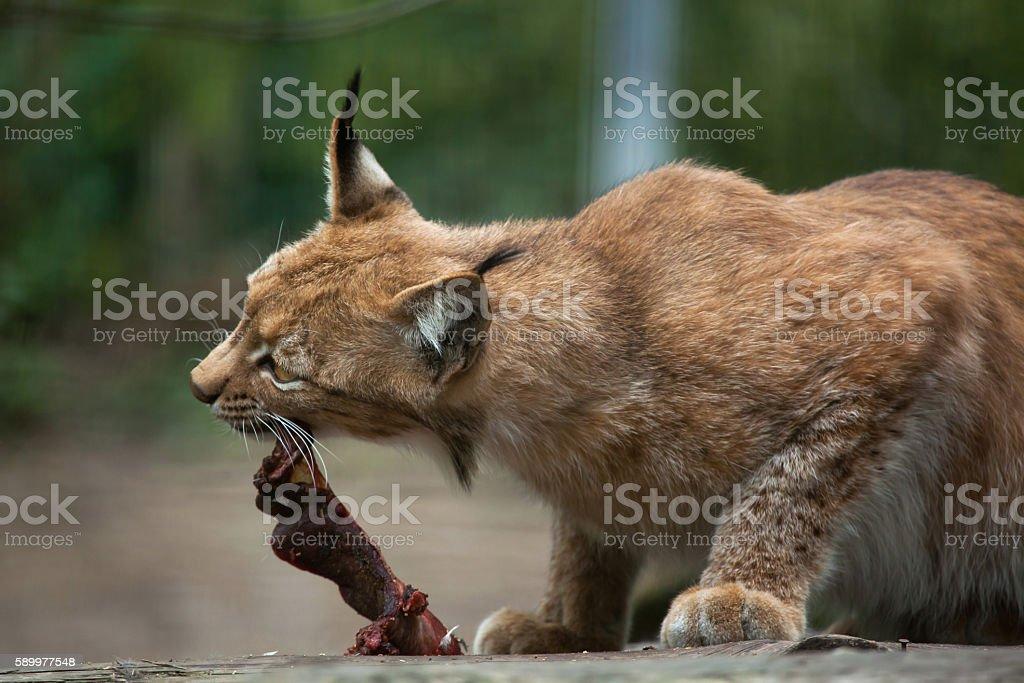 Northern lynx (Lynx lynx lynx). stock photo