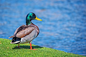 Male northern mallard duck perched by the lake