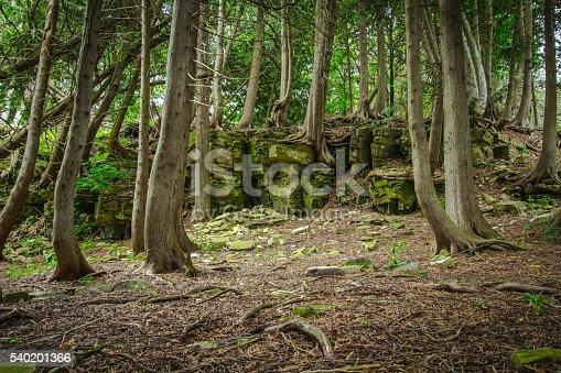 istock Northern Michigan Cedar Forest 540201366