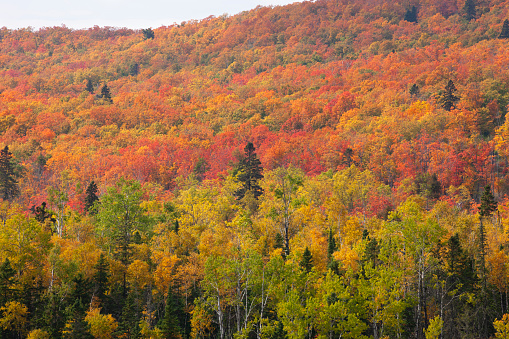 Northern Minnesota hillside ablaze with aspen, birch and maple trees in fall color