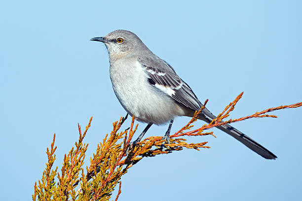Northern Mockingbird in Tree stock photo