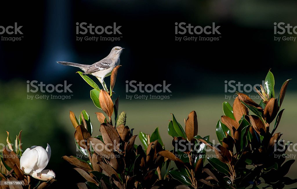 Northern Mockingbird Perched on Leaf stock photo
