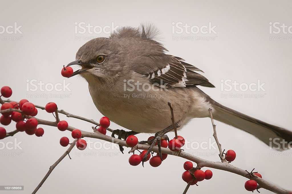 Northern Mockingbird (Mimus polyglottos) stock photo