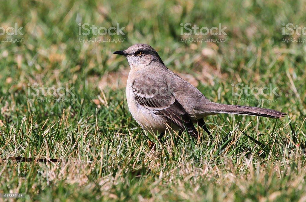 Northern Mockingbird royalty-free stock photo