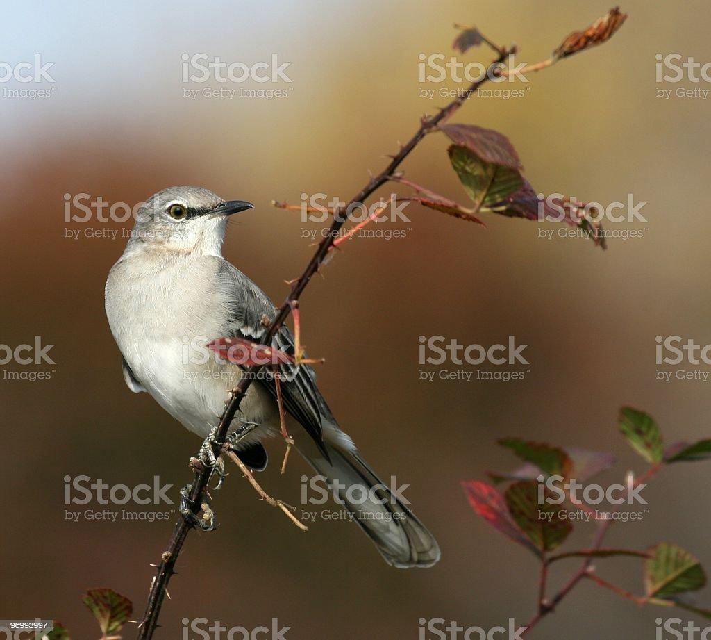 Northern Mockingbird (Mimus polyglottos) Portrait royalty-free stock photo