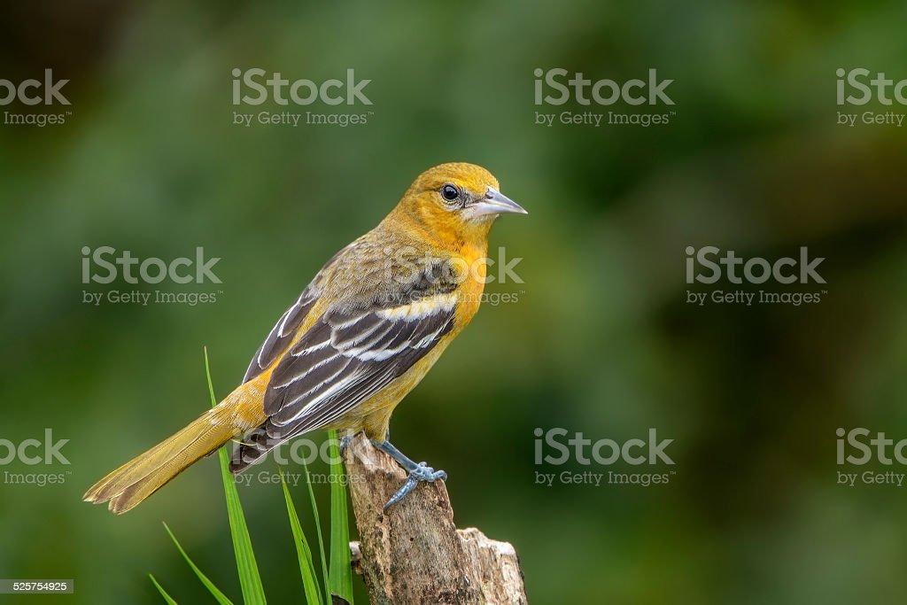 Northern (Baltimore) Oriole-Juvenile stock photo