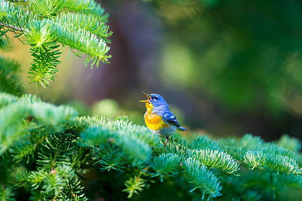 Northern Parula Male. stock photo