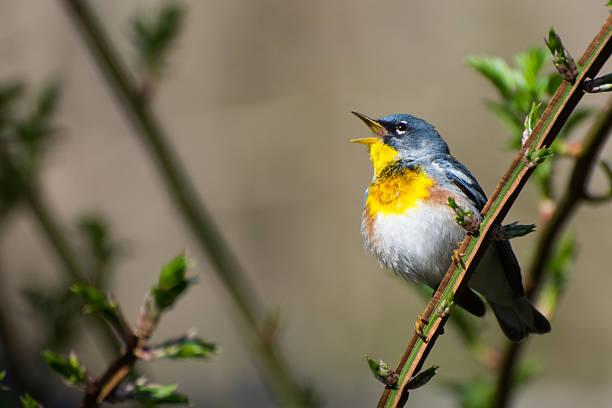 parula du nord - oiseau chanteur photos et images de collection